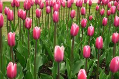 Spring blooming pink tulips view. Tulips in spring blooming garden. Blooming pink tulip flowers in springtime. Spring bloom pink stock photos