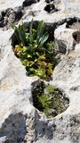 Spring blooming plants in a depression in the limestone rocks Cyprus Royalty Free Stock Photography