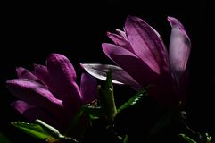 Spring blooming purple Magnolia flowers on dark background Stock Photography