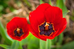 Spring blooming red Tulip close up top view.  Royalty Free Stock Images
