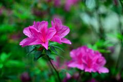 Rhododendron. Spring, blooming Rhododendron.The flowering of the Rhododendron heralds the arrival of spring Stock Images