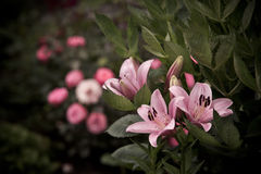 Spring blooming rose lily flowers in soft focus on dark background outdoor close-up macro. Royalty Free Stock Image