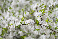 Spring blooming sakura Royalty Free Stock Photography