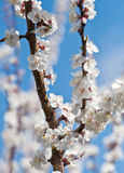 Spring blooming sakura Royalty Free Stock Images