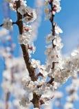Spring Blooming Sakura Royalty Free Stock Images