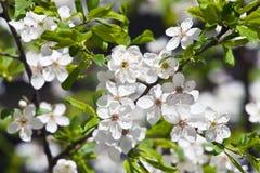 Spring Blooming Sakura Royalty Free Stock Photo