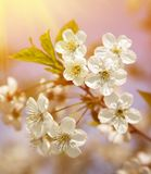 Spring blooming sakura cherry flowers branch Stock Image