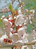 Spring blooming sakura cherry flowers branch Stock Images