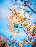 Spring blooming sakura stock photos