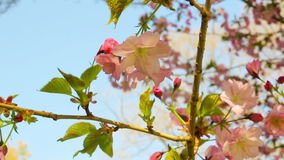 Spring blooming sakura tree flowers on sunny day stock video footage