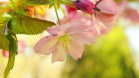 Spring blooming sakura tree flowers on sunny day stock video