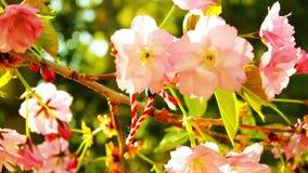 Spring blooming sakura tree flowers on sunny day stock footage