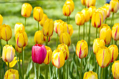 Spring blooming season of Dutch Miracle tulips Royalty Free Stock Images