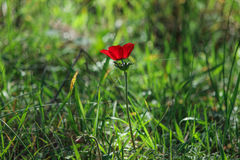 Spring blooming of a single red anemone in the forest royalty free stock photo