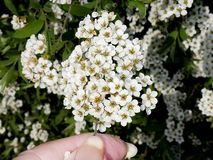 Spirea bush in a garden in Northern England with photographers hand. The spring blooming spirea has a delicate cascading habit with large clusters of white royalty free stock photography