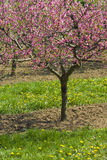 Spring blooming tree. Blooming tree in spring garden with green grass Royalty Free Stock Photo