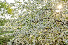 Spring blooming tree background Stock Photos