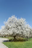 Spring blooming tree Stock Photo