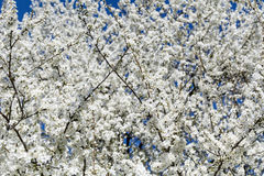 Spring blooming tree Stock Photography