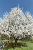 Spring blooming tree Stock Image