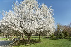 Spring blooming tree Royalty Free Stock Images