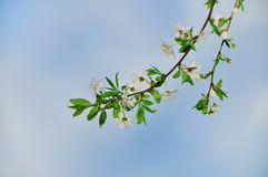 Spring blooming tree branches Stock Images