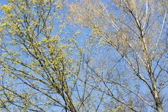 Spring blooming tree branches maple and birch with flowers on blue sky background stock photography