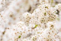 Spring blooming tree Royalty Free Stock Photos