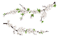 Spring blooming tree branches with white flowers stock illustration