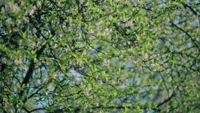 Spring Blooming Tree stock video