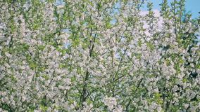 Spring Blooming Tree stock footage