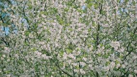 Spring Blooming Tree stock video footage