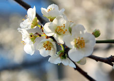 Spring blooming tree of plum Stock Photos