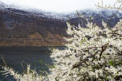 Blooming tree in Norway Royalty Free Stock Photo