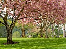 Spring blooming trees. Pink blooming trees in sunny spring day Stock Photos