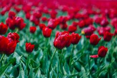 Spring blooming red tulip field in Netherlands in spring after rain. Colorful tulips stock photo