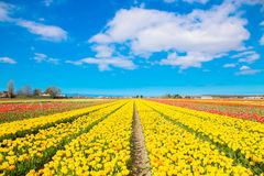 Spring blooming tulip field. Spring floral background. Royalty Free Stock Photo