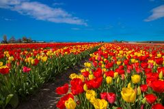 Spring blooming tulip field. Spring floral background. Spring blooming tulip field. Flowers tulips, the symbol of the Netherlands. Red and yellow tulips in royalty free stock photos