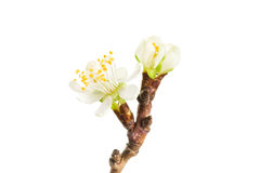 Spring blooming twig Royalty Free Stock Photos