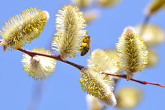 Spring. Blooming willow close up. Spring. Blooming willow with a bee against blue sky stock photography