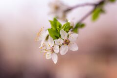 Spring blooms Royalty Free Stock Images