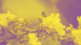 Spring blooms Apple tree, white flowers. Duotone toning. stock image