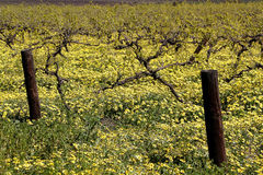 Spring blooms in the Barossa Valley Stock Image