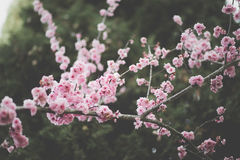 Spring blooms on branches Royalty Free Stock Photography