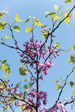Judas Tree Stock Photo