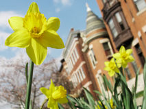 Spring Blooms in the City. Closeup of a spring daffodil with urban apartment buildings blurred in the background Royalty Free Stock Image