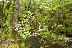 Spring blooms in forest. Royalty Free Stock Photography
