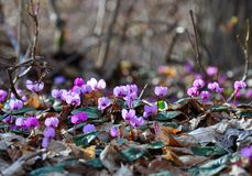 Spring blooms of pink cyclamens, Cyclamen hederifolium ivy-leaved cyclamen or sowbread in the forest stock photo