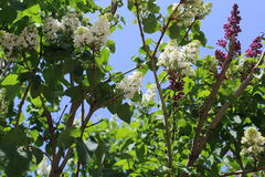 Spring blooms and white, and lilac lilac. Small candles of lilac bushes stretch toward the sun. Royalty Free Stock Photo