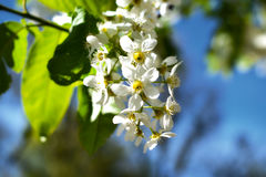 Spring bloooming tree. Beautiful blooming tree with white flowers Royalty Free Stock Images